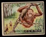 1950 Topps Bring Em Back Alive #72   Ape In The Tree-Top Front Thumbnail