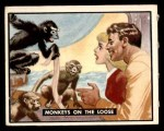 1950 Topps Bring Em Back Alive #77   Monkeys On The Loose Front Thumbnail
