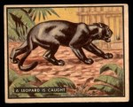 1950 Topps Bring Em Back Alive #82   Leopard Is Caught Front Thumbnail