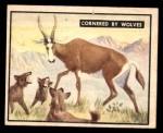 1950 Topps Bring Em Back Alive #18   Cornered By Wolves Front Thumbnail