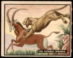 1950 Topps Bring Em Back Alive #20   The Lioness Springs Front Thumbnail